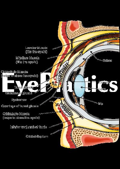 Eyelid Anatomy Boise